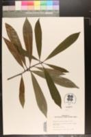 Image of Magnolia fordiana