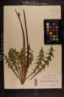 Image of Taraxacum canentifolium