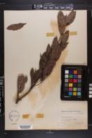 Conocarpus erecta image