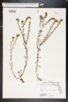 Image of Heliotropium leavenworthii