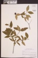 Nestronia umbellulata image
