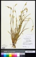 Carex gracilescens image