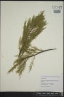 Tamarix gallica image