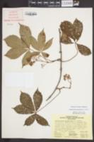 Parthenocissus quinquefolia image