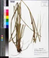 Image of Rhynchospora cariciformis