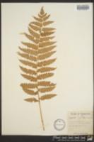 Osmundastrum cinnamomeum image