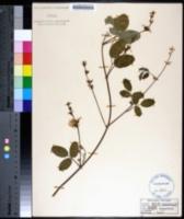 Image of Galactia floridana