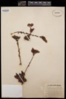 Cotyledon caespitosa image