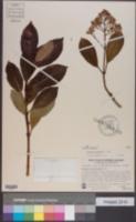 Viburnum odoratissimum image