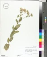 Acourtia wrightii image