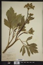 Ligusticum scoticum image
