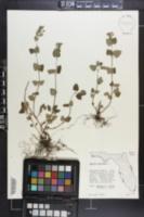 Image of Salvia serotina