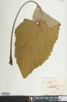 Rheum rhaponticum image