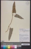 Image of Morrenia grandiflora