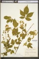 Rubus × pergratus image