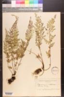 Image of Pityrogramma sulphurea