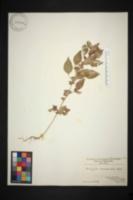 Image of Acalypha rhombifolia