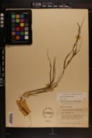 Carex corrugata image