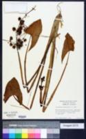 Image of Limnophyton obtusifolium