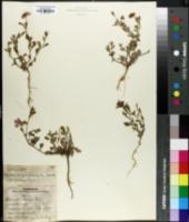 Image of Nierembergia viscosa
