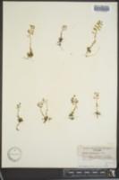 Noccaea parviflora image