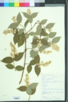 Image of Deutzia parviflora