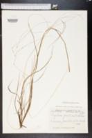 Digitaria dolichophylla image