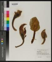 Spathyema foetida image
