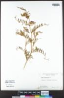 Vicia benghalensis image