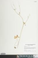 Image of Ranunculus micranthus
