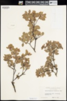 Arctostaphylos hookeri image