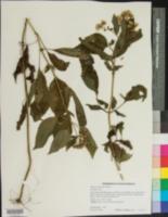 Image of Ageratum rugosum