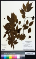 Image of Cenostigma macrophyllum