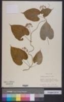 Image of Cynanchum caudatum