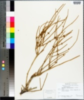 Ephedra fasciculata image