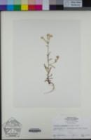 Cryptantha intermedia var. hendersonii image