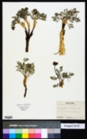 Lomatium foeniculaceum subsp. macdougalii image