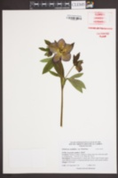 Image of Helleborus multifidus