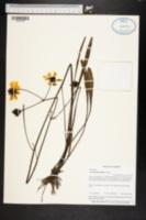 Image of Coreopsis floridana