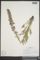 Phacelia sericea image