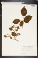 Image of Rubus phyllothyrsus