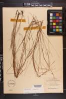 Schizachyrium tenerum image