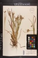 Luzula campestris image
