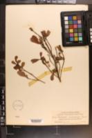 Dodonaea viscosa subsp. angustifolia image