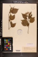 Viburnum dentatum var. lucidum image