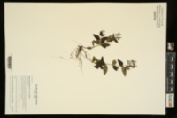 Houstonia purpurea var. purpurea image