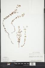 Hypericum boreale image
