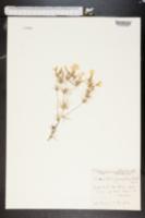 Linanthus grandiflorus image
