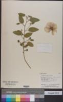Image of Gossypium bickii