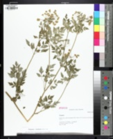Image of Thaspium chapmanii